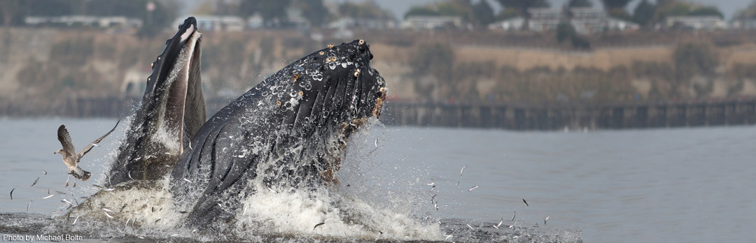 Humpback whales to feed just a few paddle strokes from shore this past summer. (Photo by Michael Bolte)