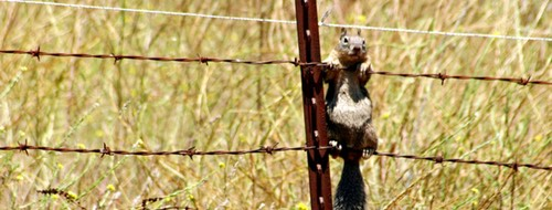 Ground squirrels sometimes hang from fences to avoid getting scooped up by raptors.